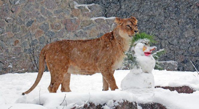 «Тигры едят больше мяса». В Киевском зоопарке рассказали, как ведут себя животные в снегопад